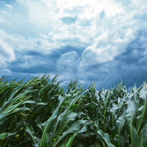 Corn maize crops bending during strong windstorm
